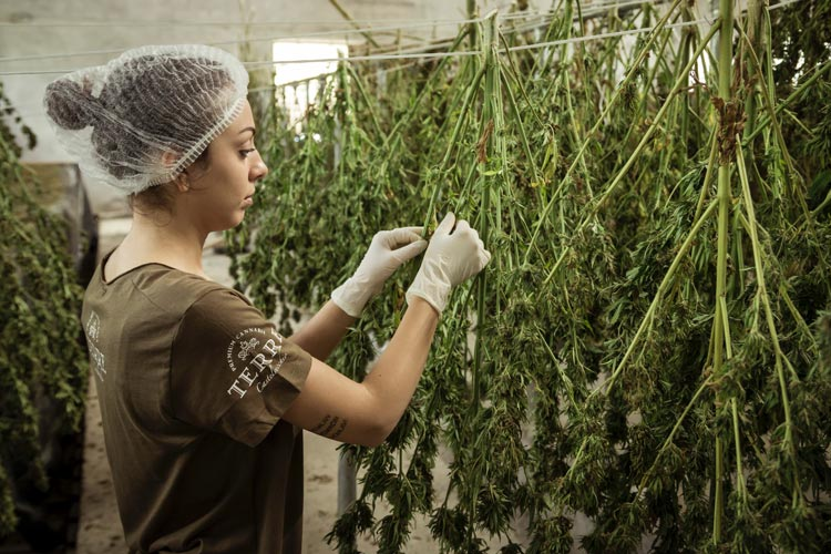 The Best Performing Companies in the Marijuana Stocks Industry